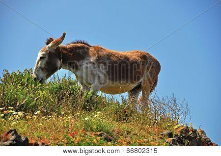 mountain mule