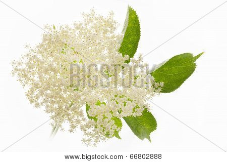 Single elderflower isolated on white background, closeup