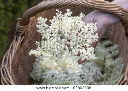 Hand holding elderflower over a basket with elderflower