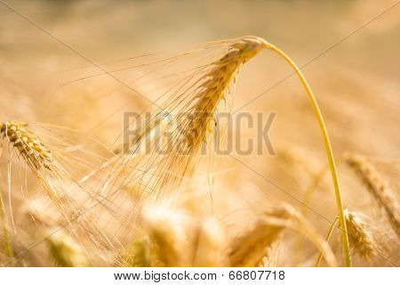 Golden Wheat Ear