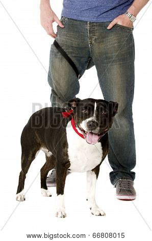 Staffordshire Bull Terrier On Lead