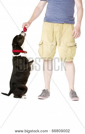 Staffordshire Bull Terrier With Owner Owner