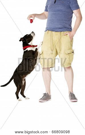 Staffordshire Bull Terrier With Owner