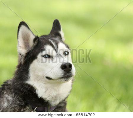 Canine Smirk