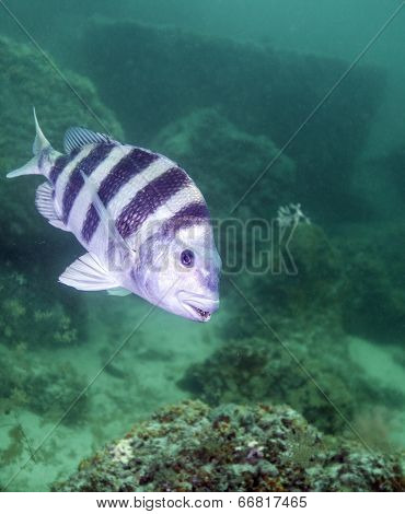 Sheepshead Feeding - Rock Jetty