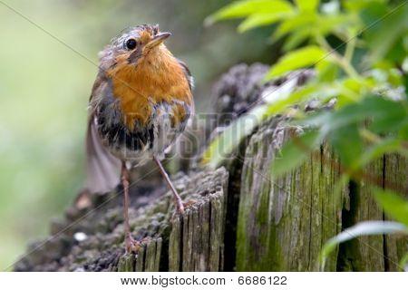 Soggy Robin