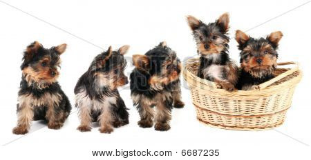 Yorkshire Terrier Puppies In A Row