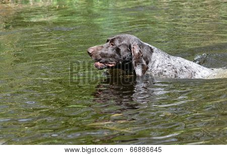german shorthaired pointer swimming in the river