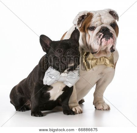 english and french bulldogs wearing bowties