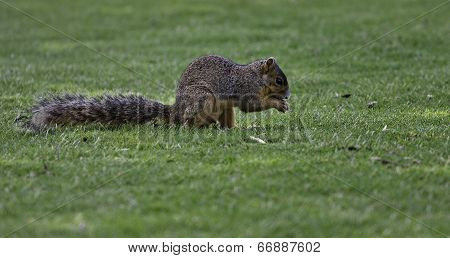 Male Brown Squirrel