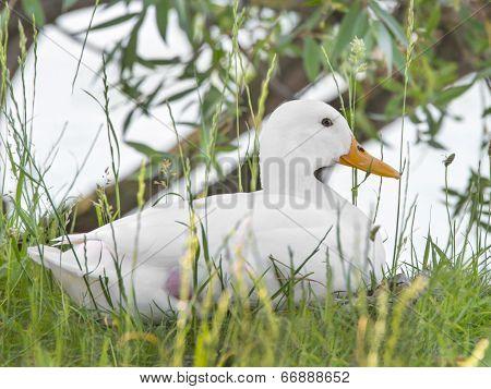 Female Peking duck near the water