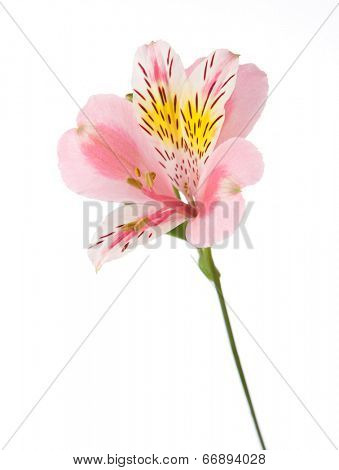 Rosy flower  isolated on white background. Alstroemeria