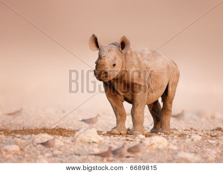 Black Rhinoceros Baby
