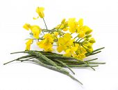 pic of cruciferous  - Rape flower on white table - JPG