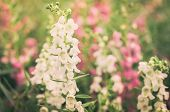 pic of dragon head  - Antirrhinum majus or Snapdragons or Dragon flowers in the garden nature Thailand vintage - JPG