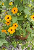 picture of planters  - Blackeye Susan Flowers in a Planter in the Nursery - JPG