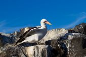 picture of booby  - A Nazca booby  in the Galapagos Islands