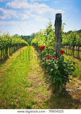 Roses In The Vineyard