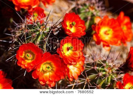 schöne Cactus Flower blossom