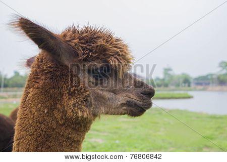 Alpaca at the lake