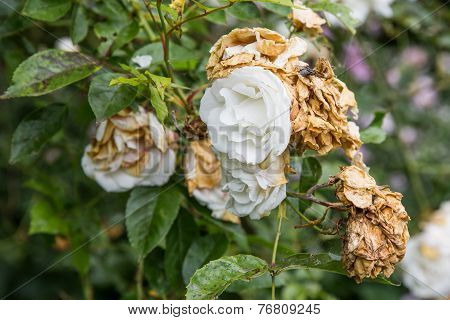 Wilted White Roses In Late Summer