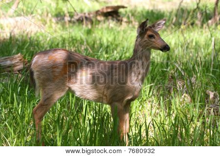 Whitetailed Deer Young Doe