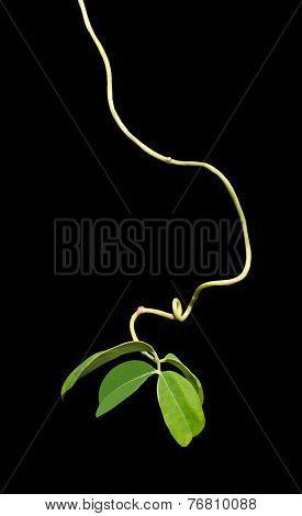 Organic vine string