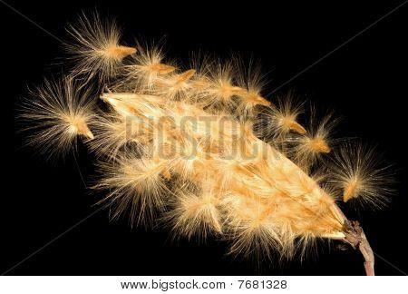 Oleander seeds