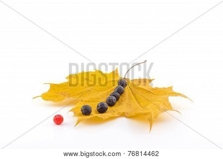 A Number Of Black And Red Berries Of A Mountain Ash On A Maple Autumn Leaves On A White Background