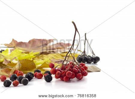 Bunch Of Red Rowan And Small Black Rowan Berries On Autumn Leaves On  Awhit Background