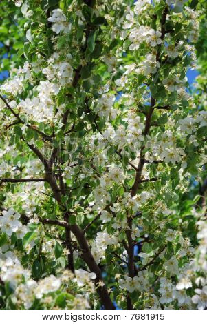 Branches Of A Blossoming Pear