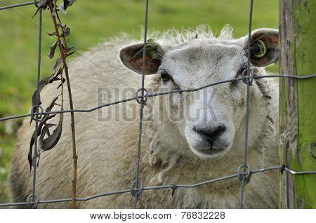 Sheep Behind A Metal Fence