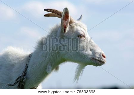 Portrait Of A Goat In The Profile
