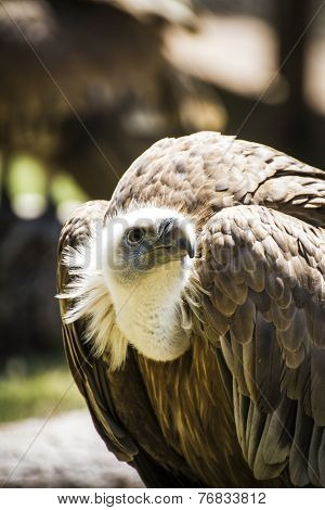 scavenger vulture resting on a branch