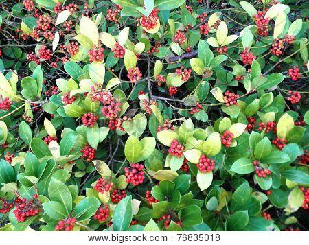 Red rowan berries - bush. Red berries on a background of green leaves