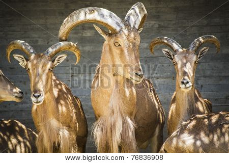 Herbivore, beautiful group of Spanish ibex, typical Animal