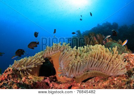 Anemone and coral reef underwater in sea