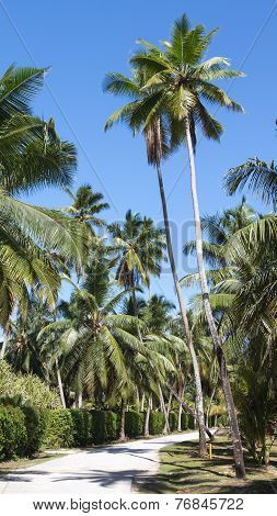 Rural Road Through Coconut Trees