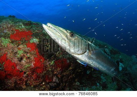 Great Barracuda at cleaning station with cleaner wrasse