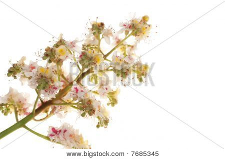 Chestnut Flowers Isolated On A White Background.