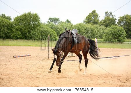 Brown Horse Bucking On Longe Line
