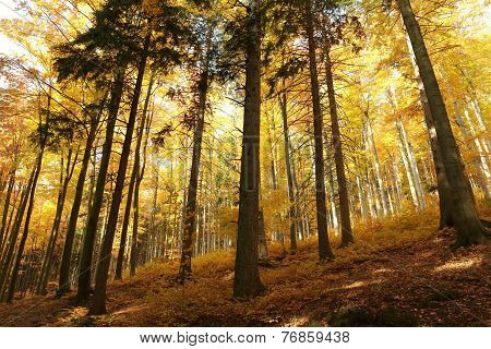 Autumn beech forest on a sunny morning
