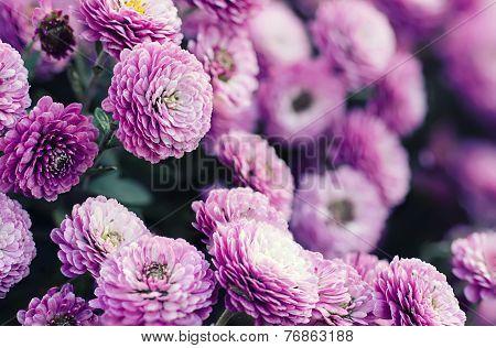 Chrysanthemum macro