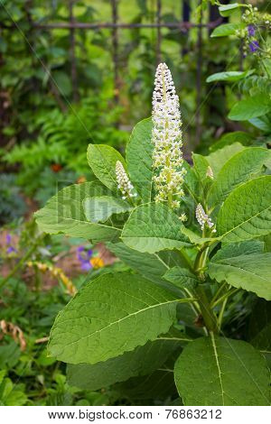 Pokeweed (phytolacca) In June, When Flowering