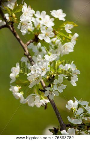 Sweet Cherry (prunus Avium)