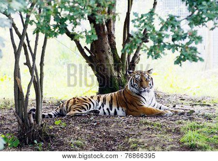 Tiger Lazy