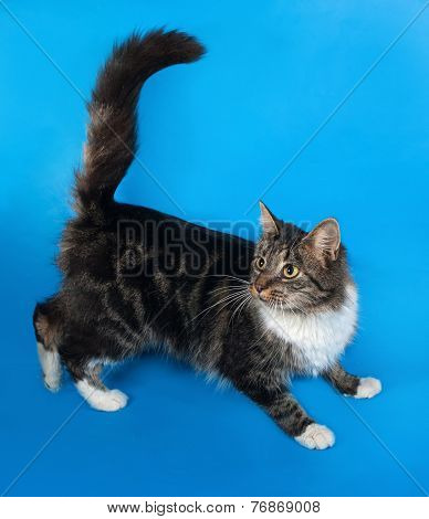 Longhaired Tabby And White Cat Sitting On Blue