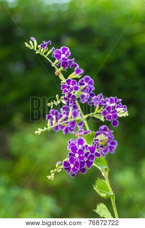 Purple blue duranta or Golden dewdrop flower