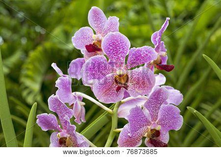Singapore Orchids