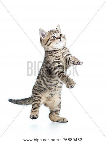 playful scottish kitten looking up on white background